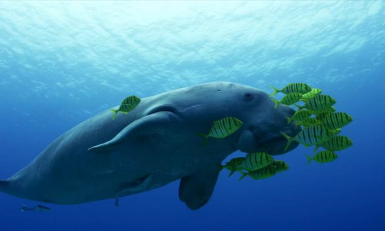 Dugong Dive